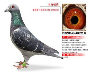 温氏鸽业104号拍卖鸽