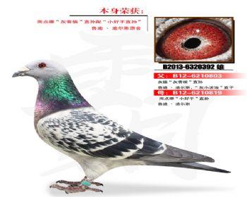温氏鸽业107号拍卖鸽
