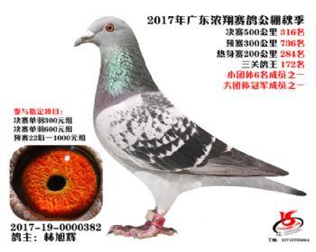 广东浓翔获奖鸽316名