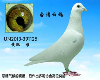 20.台湾参赛鸽.391125