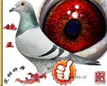 鸽王   雌   特号689-17