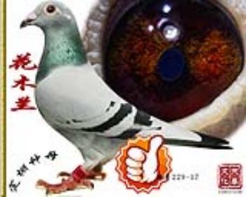 花木兰   雌   特号229-17