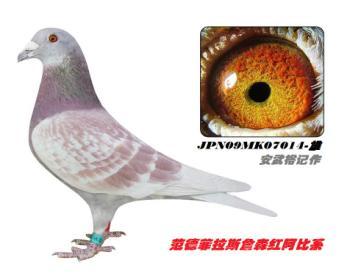 8】JPN09MK07014-降点-黄眼-雄