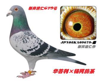 5】JPN08KA09679-雨点-黄眼-雌