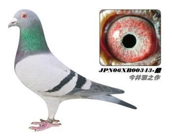 4】JPN06XB00343-灰-砂眼-雌