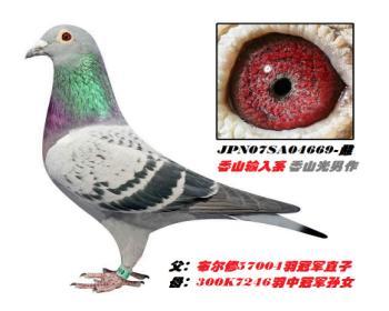 3】JPN07SA04669-浅点-黄眼-雌