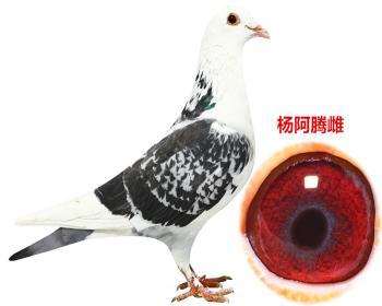 杨阿腾原舍一代鸽