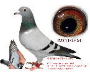 鸽王阿甘近血鸽454