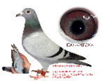 鸽王阿甘血统鸽268