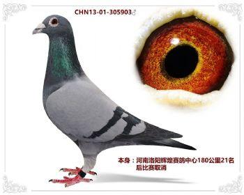 河南洛阳辉煌赛鸽中心180公里21名
