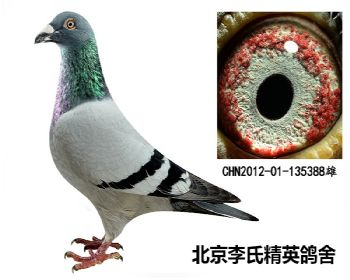 顶级种鸽(詹森老白眼)