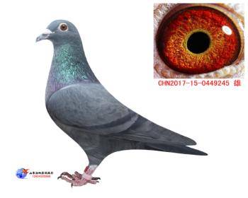 黑鸽家族血系