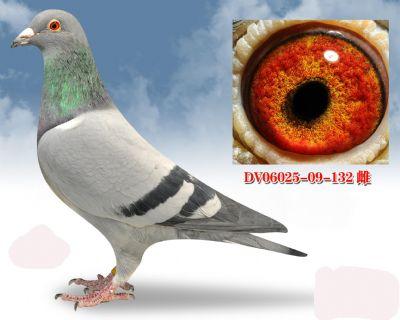 无环号血系DV0602509132