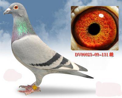 无环号血系DV0602509131