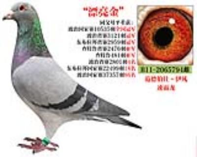 """""""漂亮金""""速霸龙大名鸽B112065794雌"""