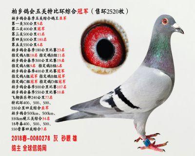 五关综合鸽王冠军