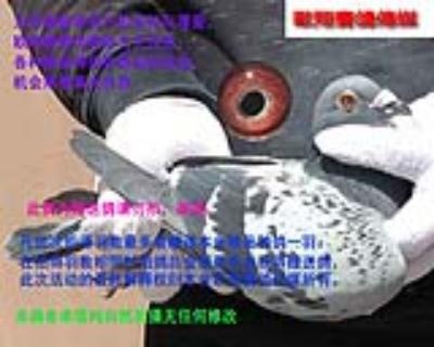 赠送鸽考夫曼15086雄,此鸽尾巴被抓掉一半
