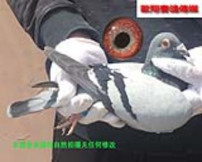 胡本15477雄鸽