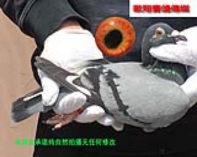 胡本17231雌鸽