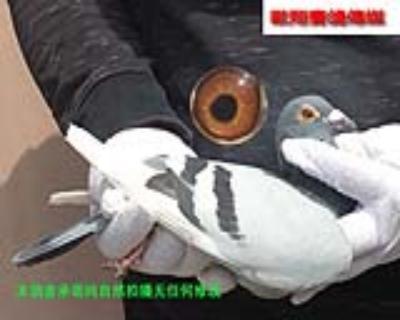 速霸龙17239雌鸽
