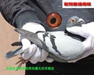 速霸龙17254雌鸽