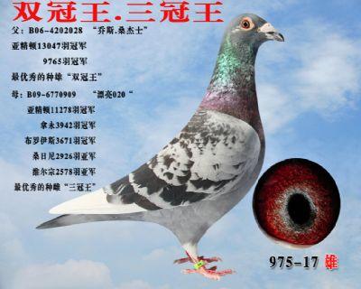 桑杰士 双冠王 顶级种鸽