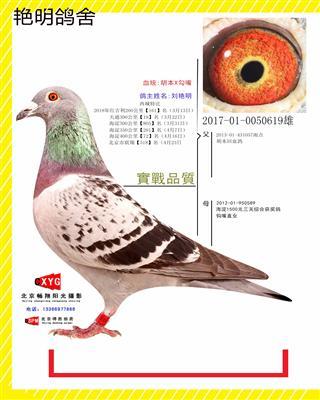 2017010050619雄 胡本X勾嘴