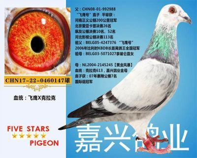嘉兴鸽业3号拍卖鸽