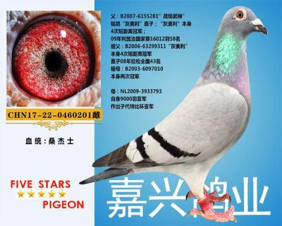 嘉兴鸽业4号拍卖鸽