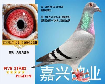 嘉兴鸽业5号拍卖鸽