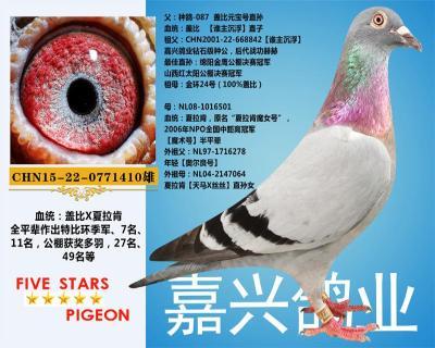 嘉兴鸽业6号拍卖鸽