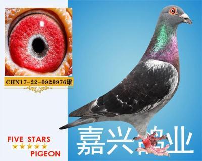 嘉兴鸽业7号拍卖鸽