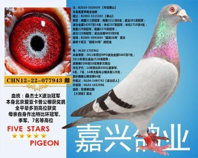 嘉兴鸽业8号拍卖鸽
