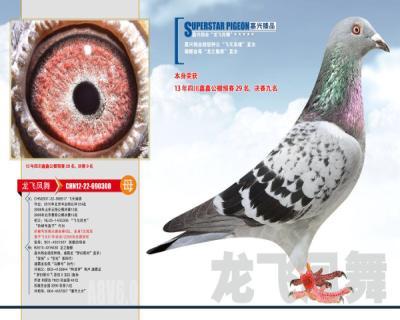 嘉兴鸽业9号拍卖鸽