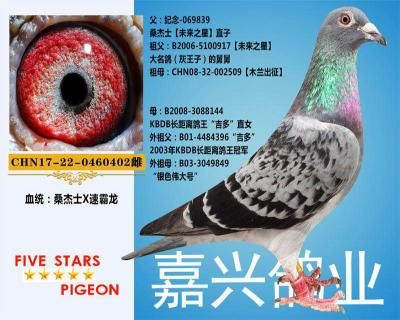 嘉兴鸽业11号拍卖鸽