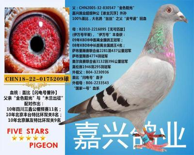 嘉兴鸽业12号拍卖鸽