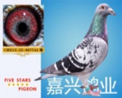 嘉兴鸽业13号拍卖鸽