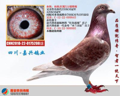 嘉兴鸽业14号拍卖鸽