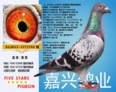 嘉兴鸽业15号拍卖鸽原环种鸽