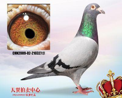 【公棚实战鸽系】波西瓦