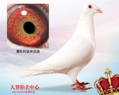【鲁道 小白12】17年特留种鸽雄