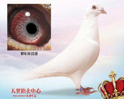 【白色大盗】17年种鸽雄