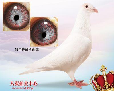 【紫目珍珠】白色大盗
