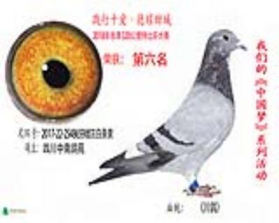 6名四川中南鸽苑2548659雌灰白条砂