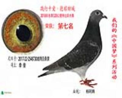 7名李奎成鸽2548730雌雨黄