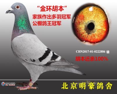"""""""金环特留种鸽""""胡本"""