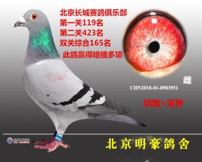 """""""奶酪女神""""北京长城赛鸽俱乐部特比环"""
