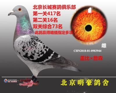 """""""盖比44""""北京长城赛鸽俱乐部特比"""