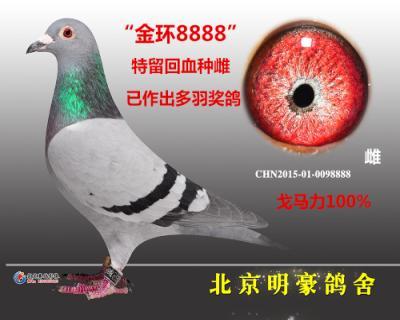 """""""金环8888""""金环特留种鸽戈马力"""