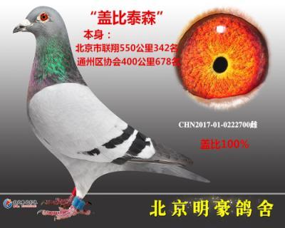 """""""盖比泰森""""北京联翔550公里342名"""